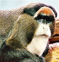 Guenon Monkey at Lincoln Park Zoo
