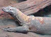 Komodo Dragon, Sedgwick Zoo, photo by Mike Swope