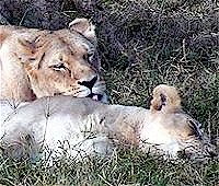 Lionesses relaxing at Sedgwick Zoo, photo by Mike Swope