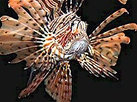 Lionfish at Shedd Aquarium