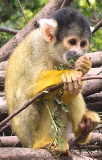 Squirrel Monkey - Photo by Rebecca Snell